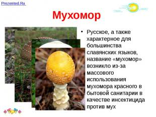 Мухомор Русское, а также характерное для большинства славянских языков, название