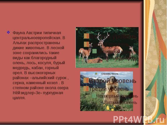 Фауна Австрии типичная центральноевропейская. В Альпах распространены дикие животные. В лесной зоне сохранились такие виды как благородный олень, лось, косуля, бурый медведь, кабан, горный орел. В высокогорных районах –альпийский сурок , серна, каме…