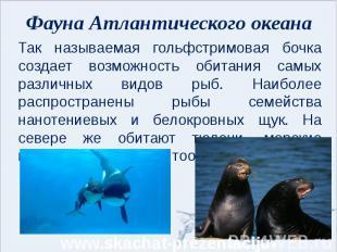 Фауна Атлантического океана Так называемая гольфстримовая бочка создает возможно