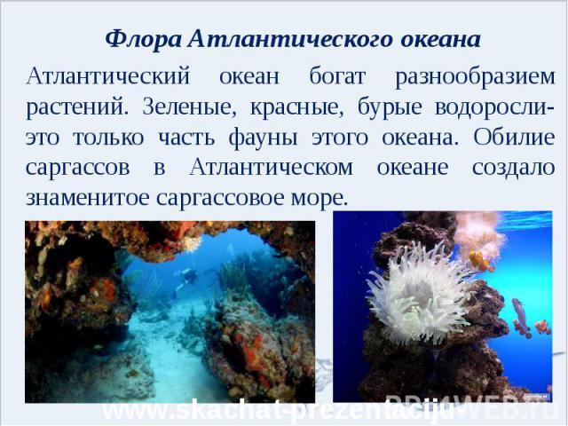Флора Атлантического океана Атлантический океан богат разнообразием растений. Зеленые, красные, бурые водоросли- это только часть фауны этого океана. Обилие саргассов в Атлантическом океане создало знаменитое саргассовое море.