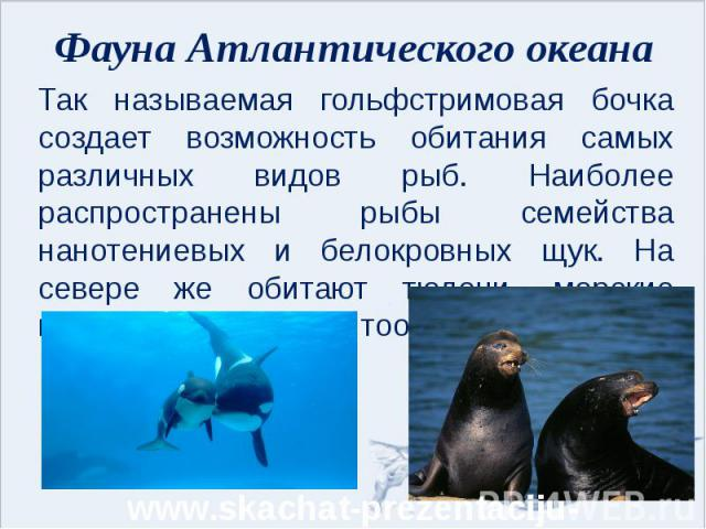 Фауна Атлантического океана Так называемая гольфстримовая бочка создает возможность обитания самых различных видов рыб. Наиболее распространены рыбы семейства нанотениевых и белокровных щук. На севере же обитают тюлени, морские котики и семейство ки…