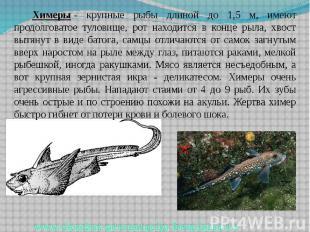 Химеры- крупные рыбы длиной до 1,5 м, имеют продолговатое туловище, рот на