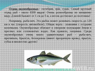 Отряд окунеобразных- скумбрия, ерш, судак. Самый крупный отряд рыб - около
