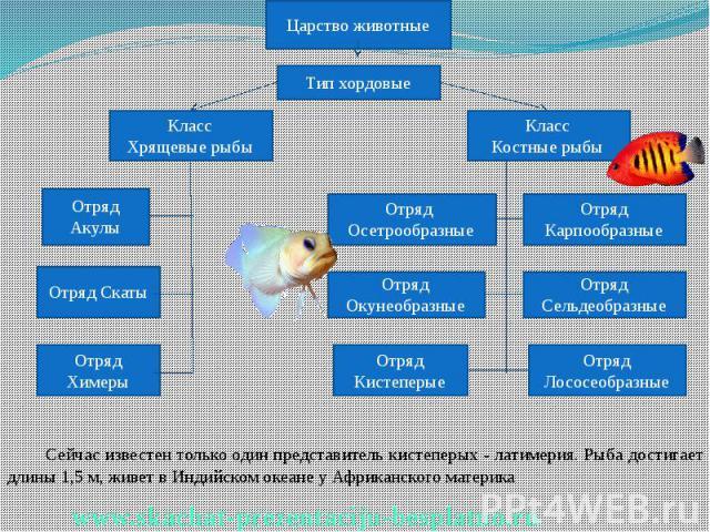 Сейчас известен только один представитель кистеперых - латимерия. Рыба достигает длины 1,5 м, живет в Индийском океане у Африканского материка Сейчас известен только один представитель кистеперых - латимерия. Рыба достигает длины 1,5 м, живет в Инди…