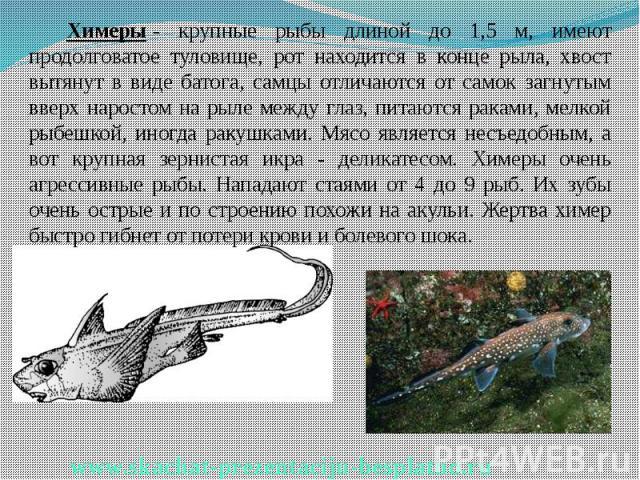 Химеры- крупные рыбы длиной до 1,5 м, имеют продолговатое туловище, рот находится в конце рыла, хвост вытянут в виде батога, самцы отличаются от самок загнутым вверх наростом на рыле между глаз, питаются раками, мелкой рыбешкой, иногда ракушка…