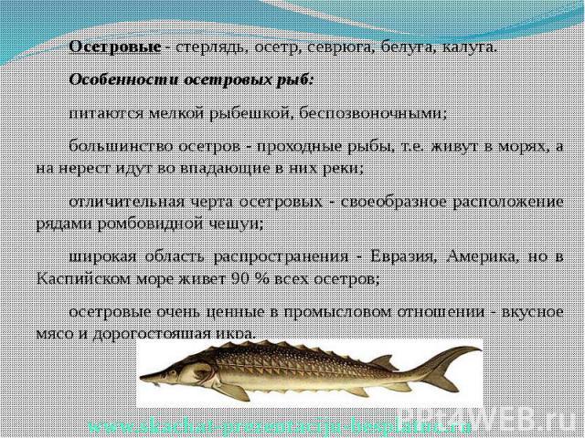 Осетровые- стерлядь, осетр, севрюга, белуга, калуга. Осетровые- стерлядь, осетр, севрюга, белуга, калуга. Особенности осетровых рыб: питаются мелкой рыбешкой, беспозвоночными; большинство осетров - проходные рыбы, т.е. живут в морях, а н…