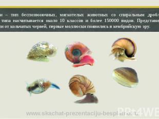 Моллюски – тип беспозвоночных, мягкотелых животных со спиральным дроблением. В п