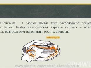 Нервная система – в разных частях тела расположено несколько пар нервных узлов.