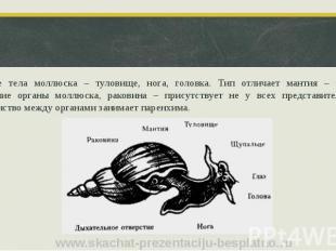 Строение тела моллюска – туловище, нога, головка. Тип отличает мантия – защищает