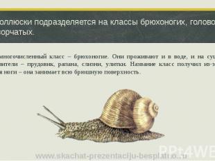 Тип Моллюски подразделяется на классы брюхоногих, головоногих и двустворчатых. С