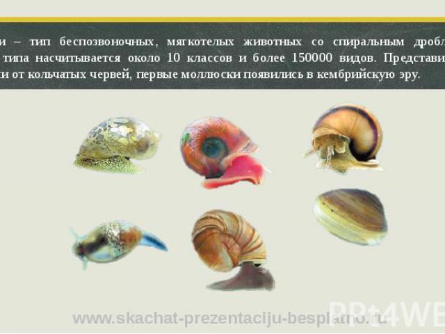 Моллюски – тип беспозвоночных, мягкотелых животных со спиральным дроблением. В пределах типа насчитывается около 10 классов и более 150000 видов. Представители типа произошли от кольчатых червей, первые моллюски появились в кембрийскую эру. Моллюски…