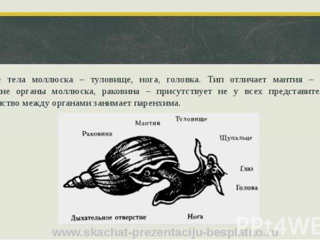 Строение тела моллюска – туловище, нога, головка. Тип отличает мантия – защищает внутренние органы моллюска, раковина – присутствует не у всех представителей типа. Пространство между органами занимает паренхима.