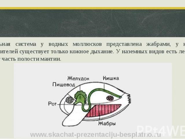 Дыхательная система у водных моллюсков представлена жабрами, у некоторых представителей существует только кожное дыхание. У наземных видов есть легкое – оно занимает часть полости мантии.