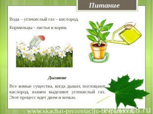 Питание Вода – углекислый газ – кислород. Кормильцы - листья и корни. Дыхание Вс