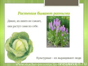Растения бывают разными Дикие, их никто не сажает, они растут сами по себе. Куль