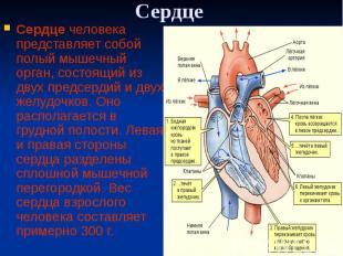 Сердце Сердце человека представляет собой полый мышечный орган, состоящий из дву