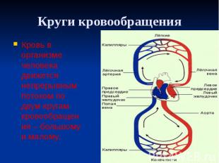 Круги кровообращения Кровь в организме человека движется непрерывным потоком по