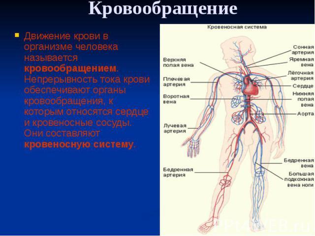 Кровообращение Движение крови в организме человека называется кровообращением. Непрерывность тока крови обеспечивают органы кровообращения, к которым относятся сердце и кровеносные сосуды. Они составляют кровеносную систему.