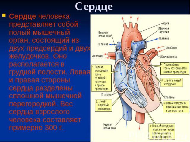 Сердце Сердце человека представляет собой полый мышечный орган, состоящий из двух предсердий и двух желудочков. Оно располагается в грудной полости. Левая и правая стороны сердца разделены сплошной мышечной перегородкой. Вес сердца взрослого человек…
