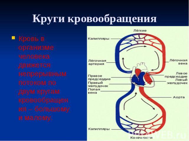Круги кровообращения Кровь в организме человека движется непрерывным потоком по двум кругам кровообращения – большому и малому.