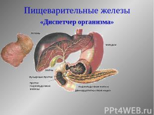 Пищеварительные железы