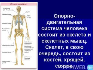 Опорно-двигательная система человека состоит из скелета и скелетных мышц. Скелет