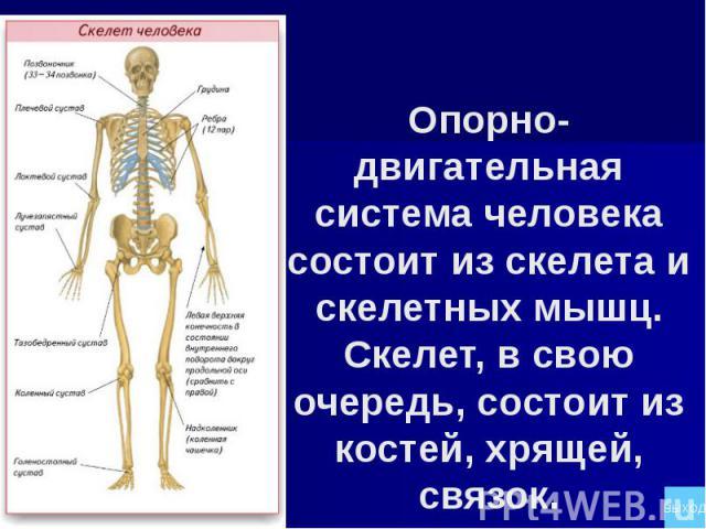 Опорно-двигательная система человека состоит из скелета и скелетных мышц. Скелет, в свою очередь, состоит из костей, хрящей, связок.