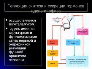 Регуляция синтеза и секреции гормонов аденогипофиза осуществляется гипоталамусом
