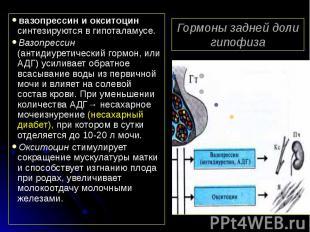 Гормоны задней доли гипофиза вазопрессин и окситоцин синтезируются в гипоталамус