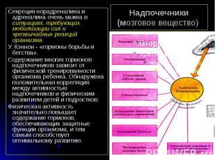 Надпочечники (мозговое вещество) Секреция норадреналина и адреналина очень важна