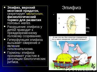 Эпифиз Эпифиз, верхний мозговой придаток, секретирует мелатонин, физиологический