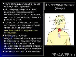 Вилочковая железа (тимус) Тимус закладывается на 6-й неделе внутриутробного разв