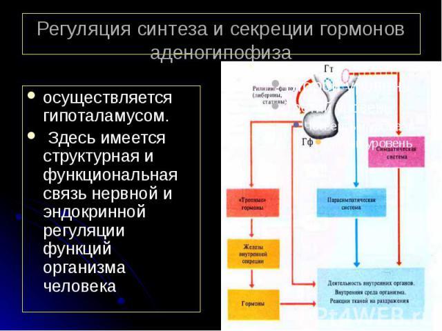 Регуляция синтеза и секреции гормонов аденогипофиза осуществляется гипоталамусом. Здесь имеется структурная и функциональная связь нервной и эндокринной регуляции функций организма человека