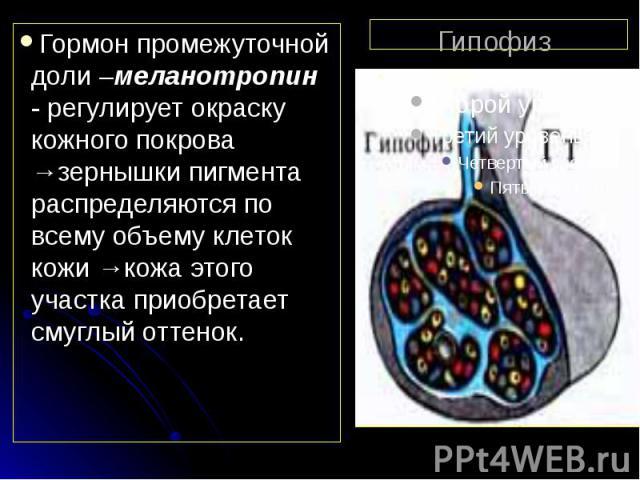 Гипофиз Гормон промежуточной доли –меланотропин - регулирует окраску кожного покрова →зернышки пигмента распределяются по всему объему клеток кожи →кожа этого участка приобретает смуглый оттенок.