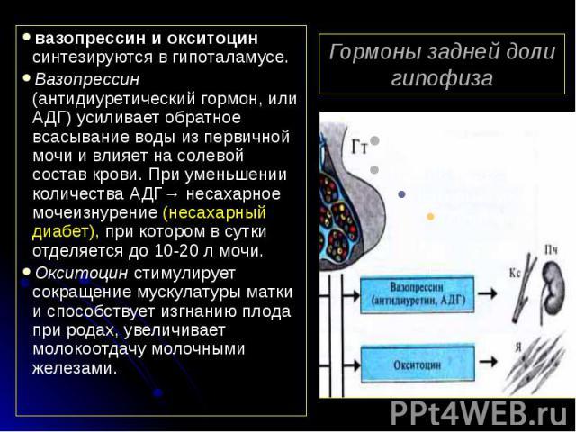 Гормоны задней доли гипофиза вазопрессин и окситоцин синтезируются в гипоталамусе. Вазопрессин (антидиуретический гормон, или АДГ) усиливает обратное всасывание воды из первичной мочи и влияет на солевой состав крови. При уменьшении количества АДГ→ …