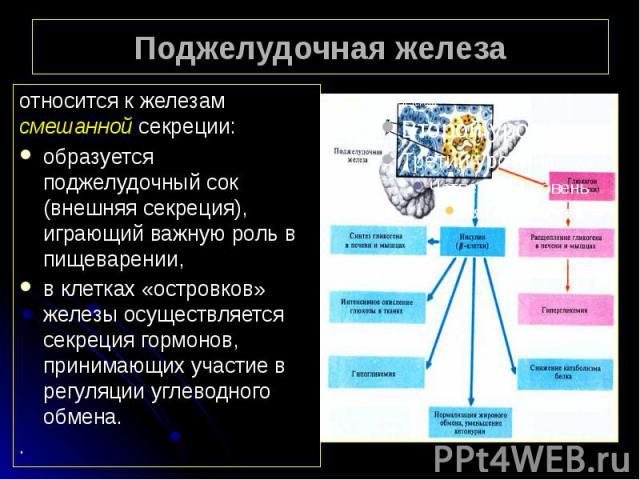 Поджелудочная железа относится к железам смешанной секреции: образуется поджелудочный сок (внешняя секреция), играющий важную роль в пищеварении, в клетках «островков» железы осуществляется секреция гормонов, принимающих участие в регуляции углеводн…
