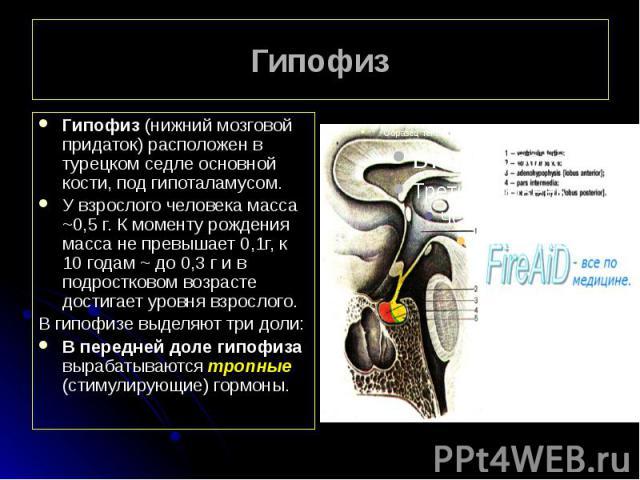 Гипофиз Гипофиз (нижний мозговой придаток) расположен в турецком седле основной кости, под гипоталамусом. У взрослого человека масса ~0,5 г. К моменту рождения масса не превышает 0,1г, к 10 годам ~ до 0,3 г и в подростковом возрасте достигает уровня…