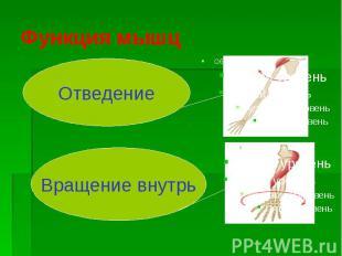 Функция мышц