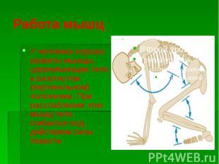 Работа мышц У человека хорошо развиты мышцы, удерживающие тело в разогнутом (вер