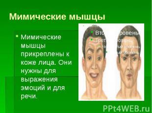 Мимические мышцы Мимические мышцы прикреплены к коже лица. Они нужны для выражен