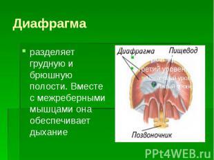 Диафрагма разделяет грудную и брюшную полости. Вместе с межреберными мышцами она