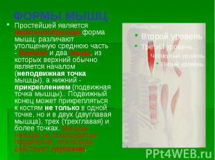 ФОРМЫ МЫШЦ Простейшей является веретенообразная форма мышц: различают утолщенную