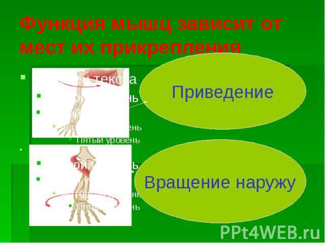 Функция мышц зависит от мест их прикрепления