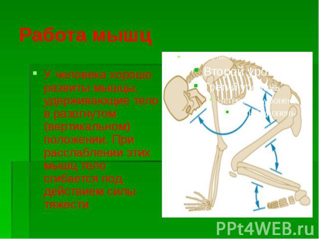 Работа мышц У человека хорошо развиты мышцы, удерживающие тело в разогнутом (вертикальном) положении. При расслаблении этих мышц тело сгибается под действием силы тяжести