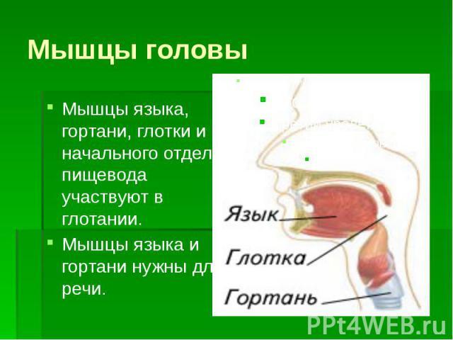 Мышцы головы Мышцы языка, гортани, глотки и начального отдела пищевода участвуют в глотании. Мышцы языка и гортани нужны для речи.