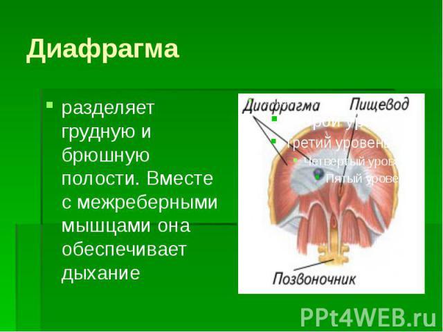 Диафрагма разделяет грудную и брюшную полости. Вместе с межреберными мышцами она обеспечивает дыхание