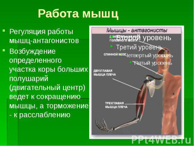 Работа мышц Регуляция работы мышц-антагонистов Возбуждение определенного участка коры больших полушарий (двигательный центр) ведет к сокращению мышцы, а торможение - к расслаблению