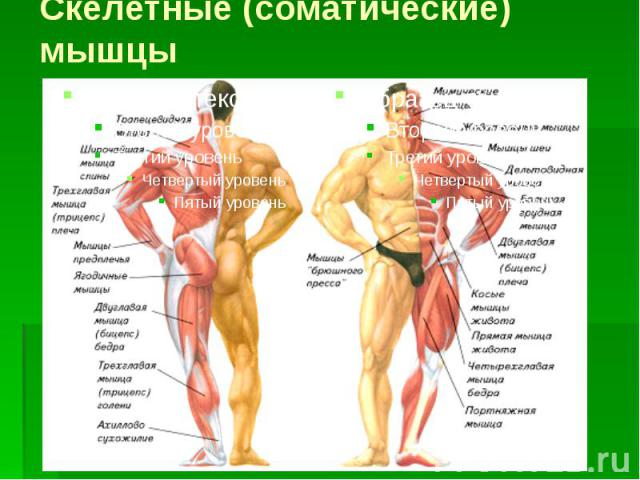 Скелетные (соматические) мышцы