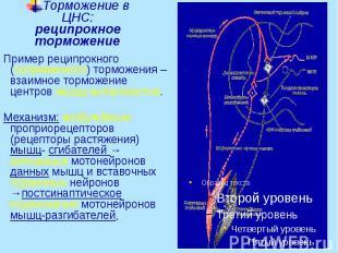 Торможение в ЦНС: реципрокное торможение Пример реципрокного (сопряженного) торм