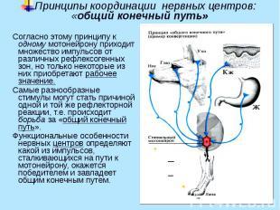 Принципы координации нервных центров: «общий конечный путь» Согласно этому принц